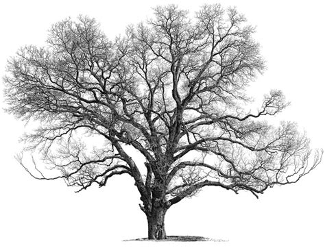 ecan tree colouring pages