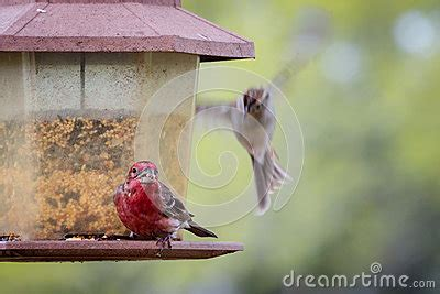 texas red house texas ruby red house finch stock photo image 88462164