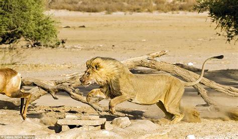 狮子猎杀羚羊全过程实拍_图片频道_新华网