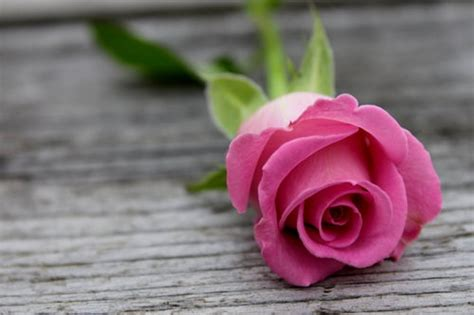 flower expert red and pink roses image the sisterhood of the rose re activate the planetary