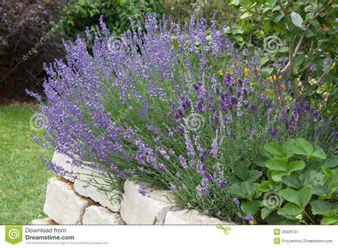lavender growing in garden stock image image 35629751