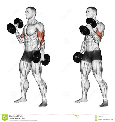 What Muscles Does Bench Press Work Related Keywords Amp Suggestions For Hammer Curls Exercise