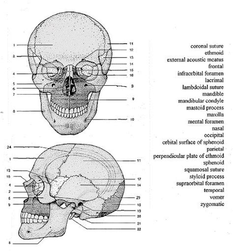 skull anatomy labeling anatomy