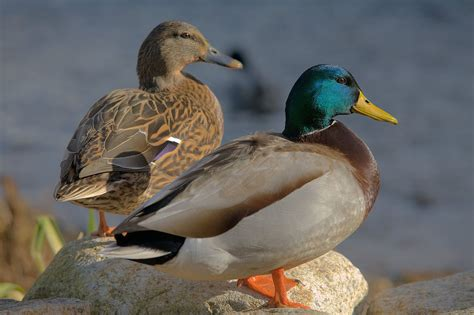 Lonceng Duck Type 9 file ducks in plymouth massachusetts jpg wikimedia commons
