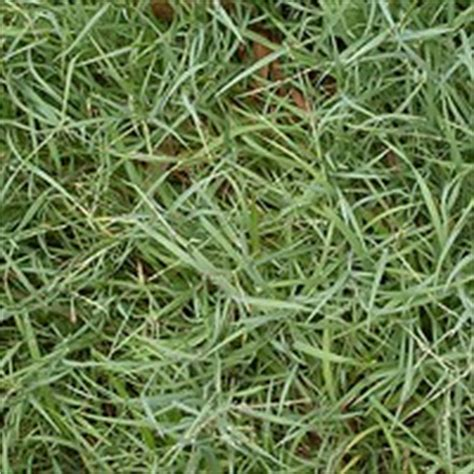 couch grass varieties varieties of lawn in australia