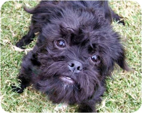 havanese rescue los angeles eevee adoption pending adopted puppy los angeles ca brussels griffon havanese mix