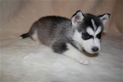 pomeranian and husky mix price view ad alaskan husky pomeranian mix puppy for sale maryland severn