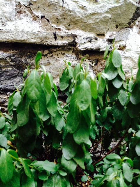 wilted leaves on azalea