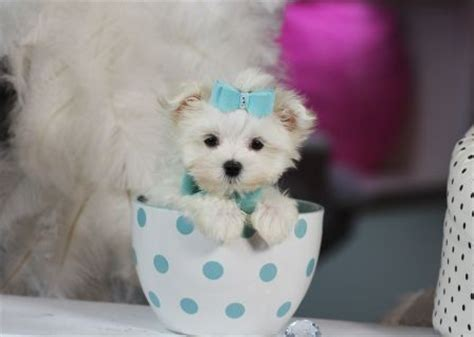 teacup maltese puppies for sale in pa the 25 best tiny puppies for sale ideas on teacup dogs for sale tiny