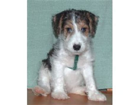 wire fox terrier puppies breeders wire fox terrier puppies breeders colorado dogs our friends photo