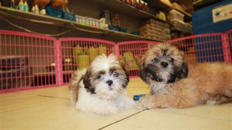 local shih tzu breeders charming gold shih tzu puppies for sale in atlanta ga at puppies for sale