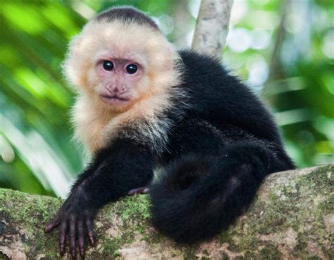 species profile capuchin monkey cebus capucinus rainforest alliance