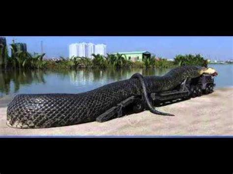world biggest snake     saad karaj iran youtube youtube