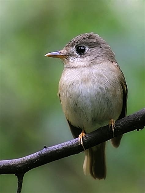 Brown Breasted Flycatcher Wikipedia