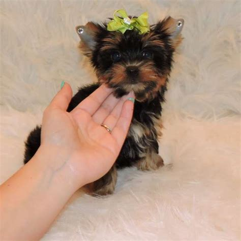 yorkie puppies for sale sydney terrier puppies for sale sydney dogs our friends photo