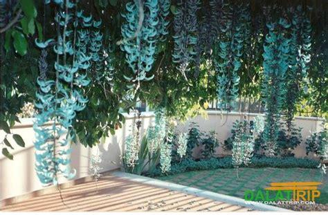 Bibit Jade Vine is dalat the source of jade vine