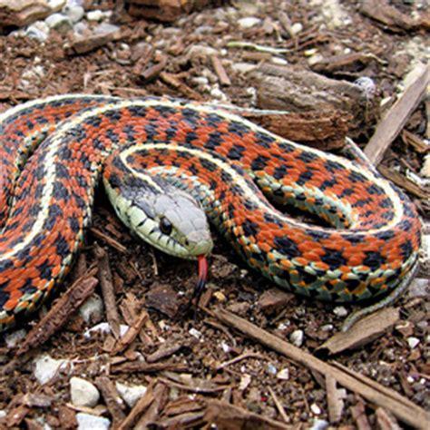 Garter Snake Alabama Garter Snakes San Juan Island National Historical Park