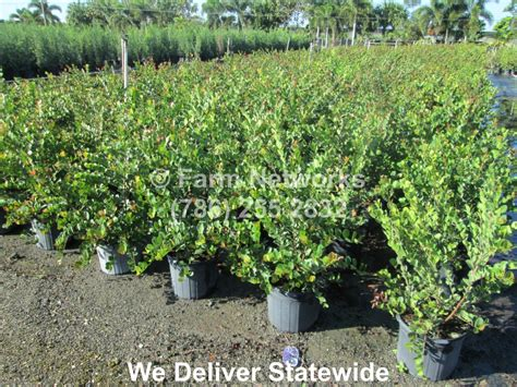 Nursery Fort Myers Fl by Small Leaf Clusia Nursery 786 255 2832 We Deliver
