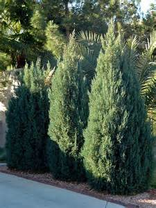 temperate climate permaculture permaculture plants juniper