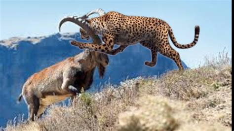 Ox Leopard battle leopard clever ibex musk ox real fight