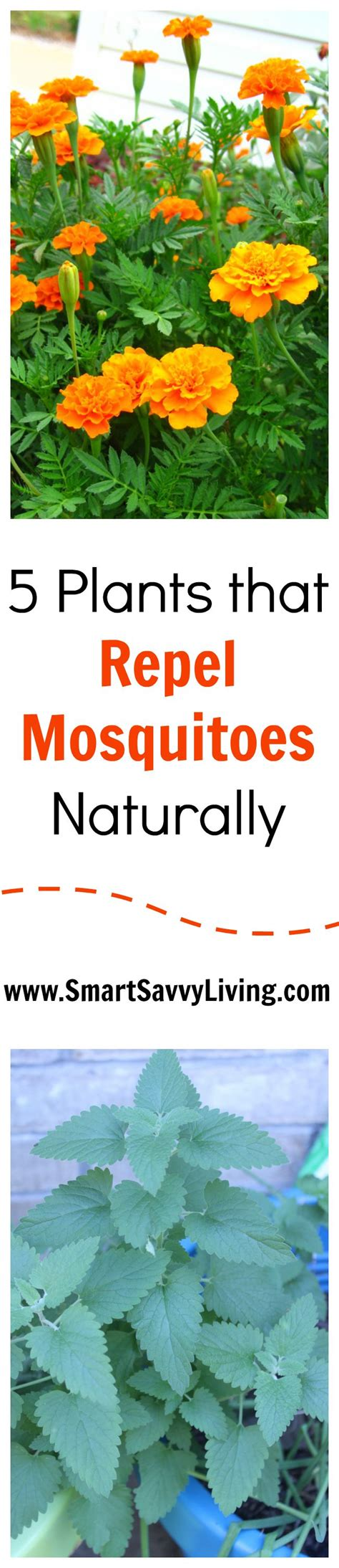 25 best ideas about lemongrass mosquito on pinterest mosquito repelling plants plants in
