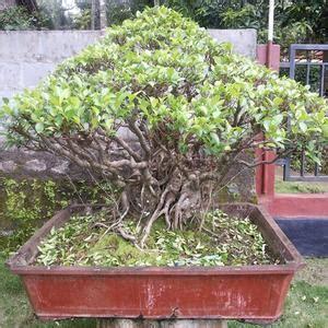 Jual Bibit Bonsai Semarang jual pohon serut langka bibit terbaik jual bibit tanaman