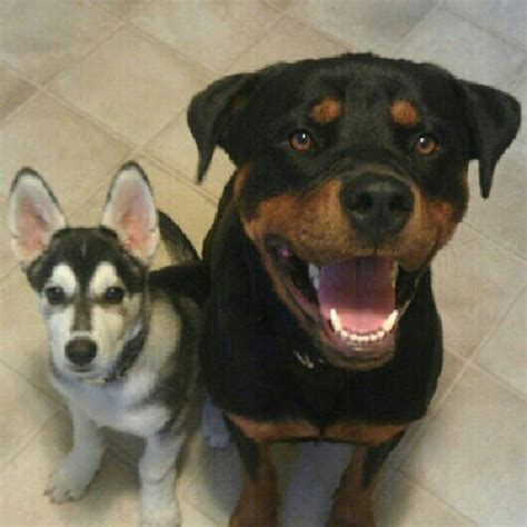 rottweiler and husky rottweiler and husky best friends future plans friends rottweilers