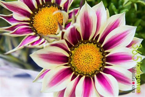 imagenes flores mas lindas im 193 genes bonitas de flores con frases cortas y hermosas rosas