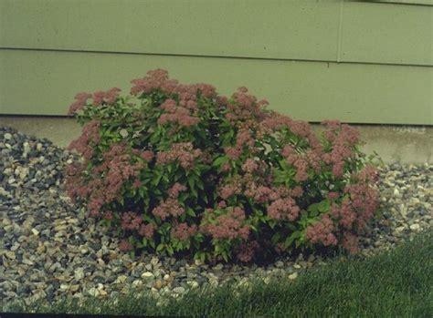 leaves pink flowers shrub fragrant flowering shrubs