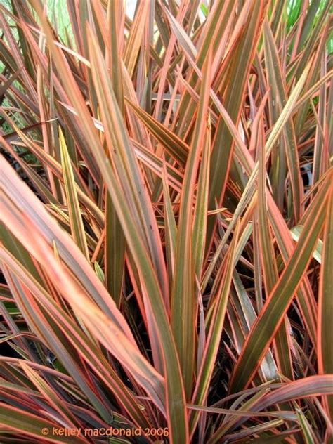 plantfiles pictures new zealand flax sundowner