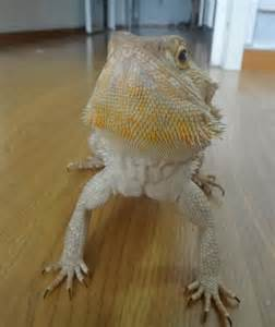bearded dragon care for starters bearded dragon care