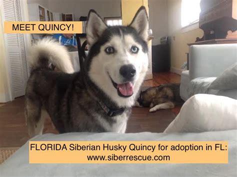 siberian husky puppies florida image gallery husky adoption florida