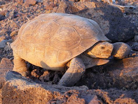 Tortoise L by Desert Tortoise Sonoran Desert National Monument Arizona