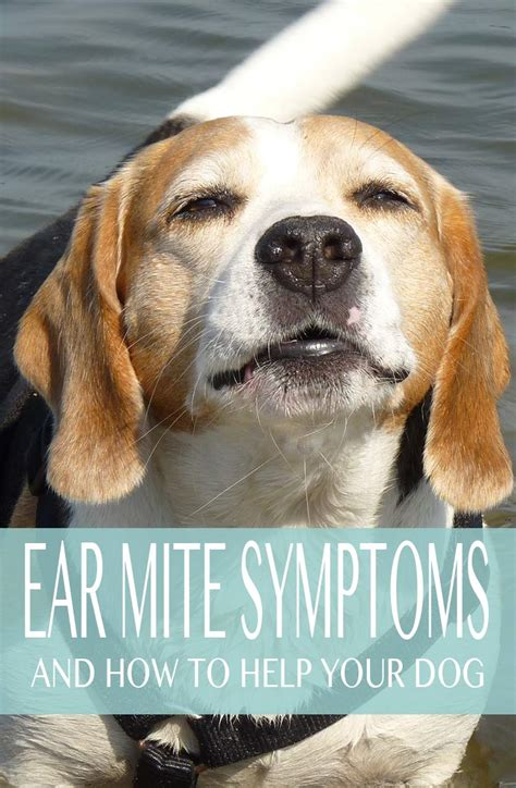 symptoms of ear mites in dogs ear mites in dogs causes symptoms and treatment options