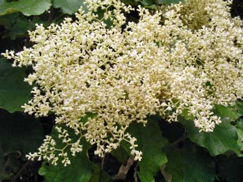 fragrant trees with white flowers rangiora flowering shrubs and small trees of the forest