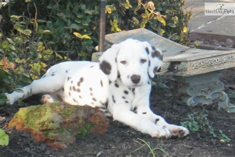 dalmatian puppies for sale nj dalmatian puppy for sale near south jersey new jersey c8dd30ba 1811