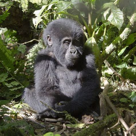 Personality Series Be Polite Gorillabox curious and observant infant mountain gorilla bwindi click here for more creatures