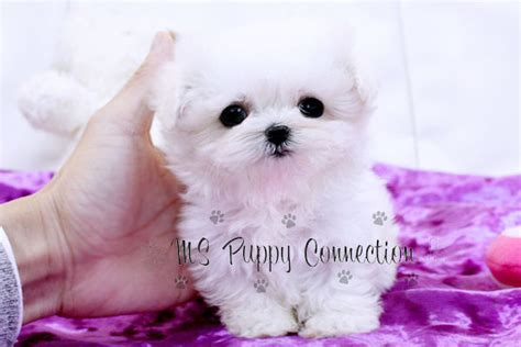 micro teacup maltese puppies for sale new york teacup puppies for sale maltese puppies new york