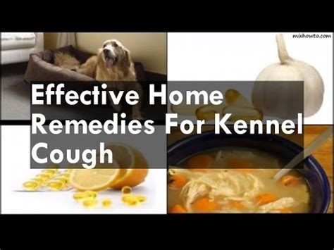 puppy kennel cough home remedies rottweiler horrible kennel cough flu induced vomiting funnycat tv