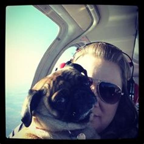 pugs on planes 1000 images about pugs and planes on pug a pug and skydiving