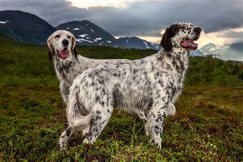 english setter working dog photographer takes portraits of the world s hardest