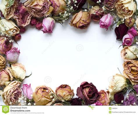 imagenes de rosas secas marco de las rosas imagenes de archivo imagen 398084