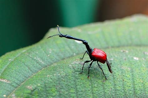 bbc nature giraffe weevil videos news and facts treknature giraffe photo