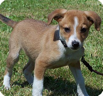 border collie beagle mix puppies adopted puppy milford nj beagle border collie mix