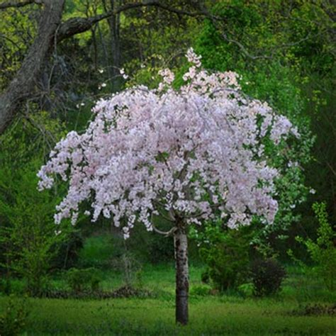 White weeping cherry pendula plena rosea for sale brighter blooms