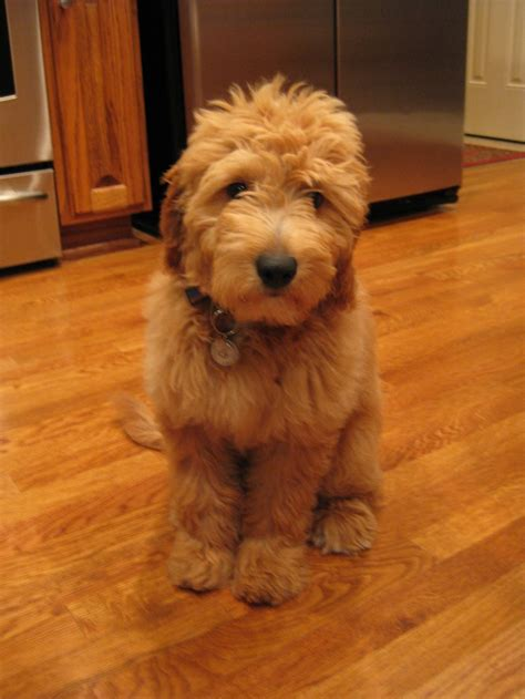 mini goldendoodle weight 22 best images about mini labradoodles on