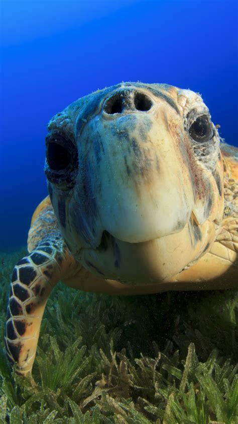 wallpaper hawksbill sea turtle bahamas atlantic pacific