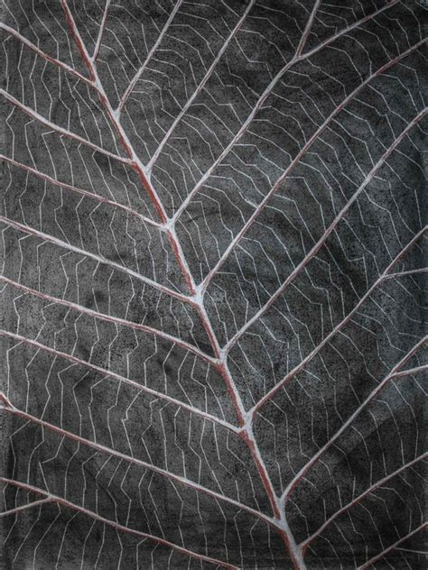 pattern leaf veins the vein patterns of leaves art series laura kranz