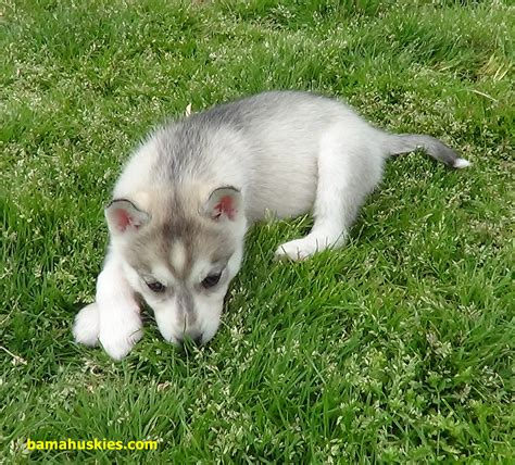 my eats grass why does my husky eat grass 171 siberian husky puppies for sale siberian husky
