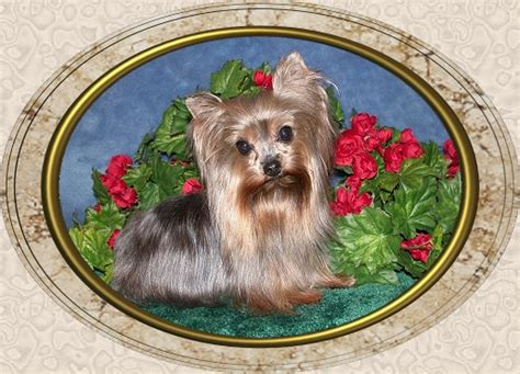 velvet touch yorkies page 3 velvet touch yorkies d o b height weight information